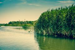 green rushes by the lake - stock photo
