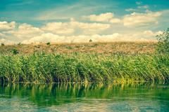 green rushes by a riverside - stock photo