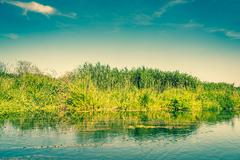 fresh green rushes at a river - stock photo