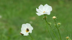 cosmos flower - stock footage