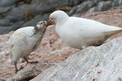 female snowy sheathbill or chionis albus chicks that feeds - stock photo