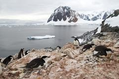 mixed colony of adelie penguins, gentoo and chinstrap on the antarctic island - stock photo