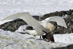 Southern giant petrel white morphs who eats adelie penguin chick Stock Photos