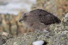 Downy chick south polar skua among the rocks of the antarctic islands Stock Photos