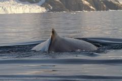 Back  and fin and humpback whales in antarctic waters Stock Photos