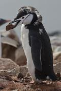 Moulting chinstrap or penguin chinstrap who stands with a stone in its beak Stock Photos