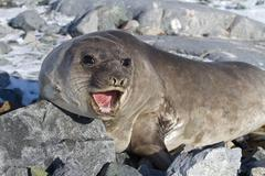 southern elephant seal that is on the rocks and roars - stock photo