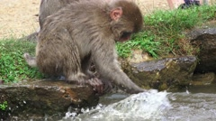 Baby Japanese Macaque Monkey Splashing In Pond Water Close Up 4K Stock Footage