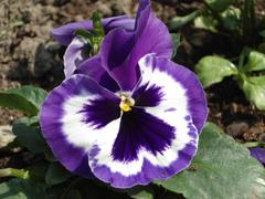 White purple pansy flower Stock Photos