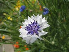 beautiful white and blue flower - stock photo