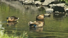 Ducks & Wildlife - Swiming in a Pond Stock Footage