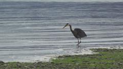 Heron Catches Fish in Shallows HD Stock Footage