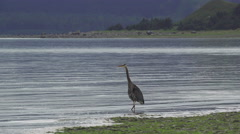 Heron Catches Fish in Shallows 4K - stock footage