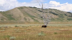 Bison Grazing in the Flats by Grand Teton National Park Stock Footage