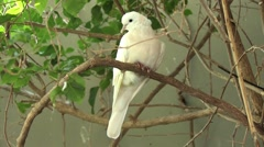 1080p White Dove Perched on a Branch Stock Footage