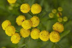Flora - tansy Stock Photos