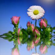 White daisy with a pink tinge in a bouquet of pink roses in the water. mirror re Stock Illustration