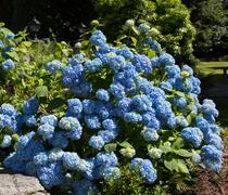Blue Hydrangea bush Stock Photos