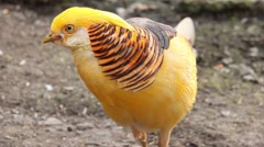 Golden pheasant looking curiously. Stock Footage