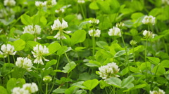 White flowers clover on meadow close-up Stock Footage