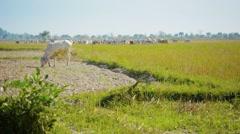 Cows graze on the stubble fields. burma Stock Footage