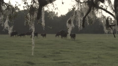 Cows In Pasture 2 - stock footage