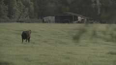 Cows In Pasture 6 - stock footage