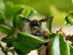 Vapourer moth caterpillar - stock photo