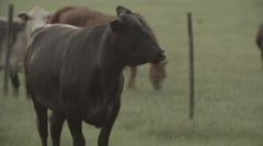 Cows In Pasture at Sunset 8 - stock footage