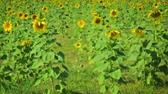 Sunflower field with flowering plants. thailand Stock Footage