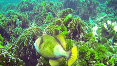 Titan triggerfish (giant triggerfish or moustache triggerfish) in their natur Stock Footage