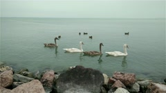 4K Young Swans on Lake 1 Stock Footage