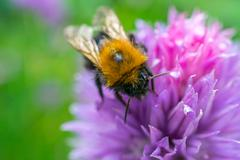 A Bumble Bee on a flower collecting nectar - stock photo