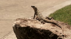 Iguana on rock Stock Footage