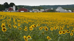 Sunflower Field and Farm Stock Footage