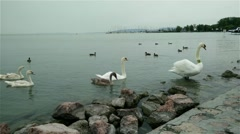 Young Swans on Lake 2 Stock Footage