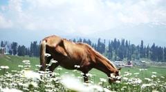 Horses Daisies Highland Stock Footage