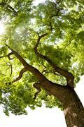 Japanese pagoda tree (styphnolobium japonicum) Stock Photos