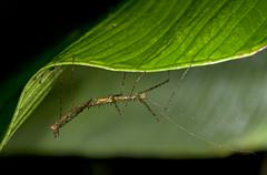 stick insect (phasmida) perched on a leaf, tandayapa region, andean cloud for - stock photo