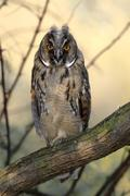 Long-eared owl (asio otus), fledgling, juvenile, perched on branch, apetlon,  Stock Photos