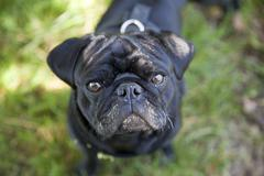 Stock Photo of black pug with its face smeared with cow dung