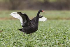black swan (cygnus atratus) standing in a canola field, fuldabrueck, hesse, g - stock photo