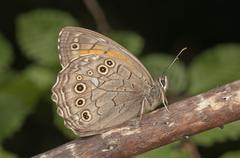 Ringlet (aphantopus hyperantus) resting, near lake kerkini, greece, europe Stock Photos