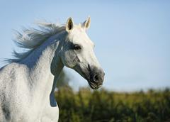 Grey thuringian warmblood mare, portrait, galloping Stock Photos