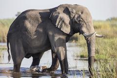 African bush elephant (loxodonta africana), mamili national park, caprivi str Stock Photos