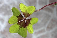 Clover, trefoil (trifolium), close-up, lucky charm Stock Photos
