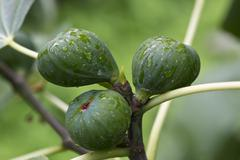 Common fig (ficus carica) Stock Photos