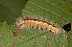 nut-tree tussock (colocasia coryli), caterpillar, untergroeningen, baden-wuer - stock photo