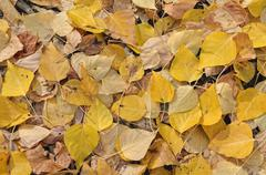 Aspen (populus tremula), autumn coloured leaves on the ground, warm springs r Stock Photos