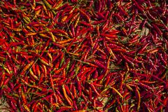 Chilli (Capsicum sp.), red chilli peppers drying in the sun, northern Thailand Stock Photos